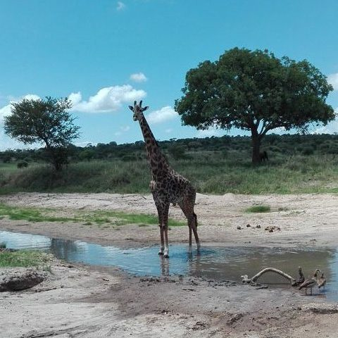 Giraffe in the wild Sameji Safaris