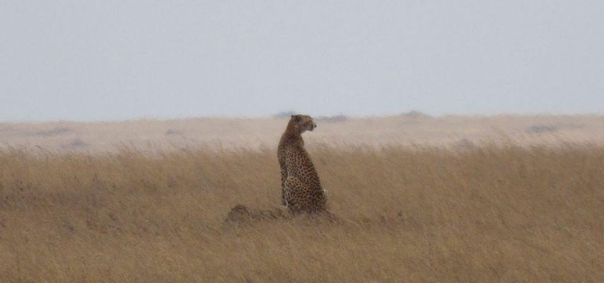 Cheetah in a field